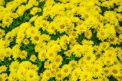 La belle fin u d'image de chrysanthème d'automne jaune de fleur Images libres de droits