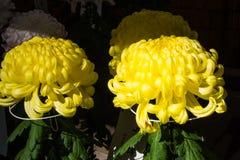 La belle fin u d'image de chrysanthème d'automne jaune de fleur Images stock