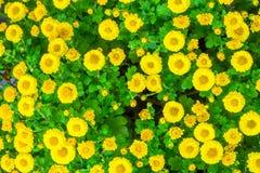 La belle fin u d'image de chrysanthème d'automne jaune de fleur Image stock