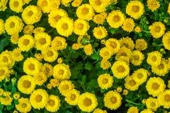 La belle fin u d'image de chrysanthème d'automne jaune de fleur Photographie stock libre de droits