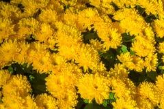 La belle fin u d'image de chrysanthème d'automne jaune de fleur Photos stock
