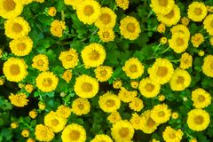 La belle fin u d'image de chrysanthème d'automne jaune de fleur Photo stock