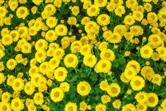 La belle fin u d'image de chrysanthème d'automne jaune de fleur Photographie stock