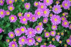 La belle fin u d'image de chrysanthème d'automne pourpre de fleur Photographie stock libre de droits