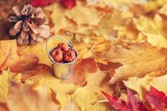 La belle fin vers le haut du tir d'image avec l'érable sec rouge jaune coloré de chute d'automne part, seau avec des cosses de po Photos stock