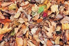 La belle fin vers le haut du tir d'image avec l'érable sec rouge jaune coloré de chute d'automne part sur la terre, l'automne, vu Photographie stock
