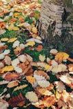 La belle fin vers le haut du tir d'image avec l'érable sec rouge jaune coloré de chute d'automne part sur la terre, l'automne, vu Photographie stock libre de droits