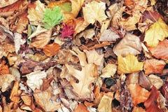 La belle fin vers le haut du tir d'image avec l'érable sec rouge jaune coloré de chute d'automne part sur la terre, l'automne, vu Photo stock