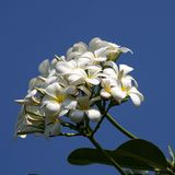 La belle fleur au Cambodge Image stock