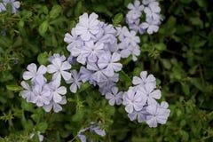 La belle fleur bleu-clair ; plumbago bleu photo stock