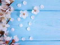 La belle fleur de cerise peut s'embrancher printemps sur le fond en bois bleu image stock