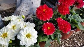 La belle fleur de dahlia dans le jardin images libres de droits