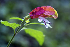 La belle fleur de la crevette mexicaine Photo stock