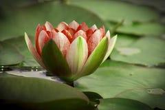 La belle fleur de lotus est complimentée par les couleurs riches Images stock
