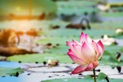 La belle fleur de lotus est le symbole du Bouddha, Thaïlande images stock