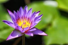 Plan rapproché de Lotus Photographie stock libre de droits