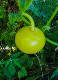 La belle fleur de potiron à l'usine végétale et les verts poussent des feuilles fond photographie stock