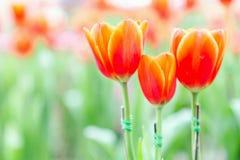 La belle fleur de tulipe et le fond vert de feuille dans la tulipe font du jardinage à l'hiver ou à la journée de printemps Image libre de droits