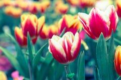 La belle fleur de tulipe et le fond vert de feuille dans la tulipe font du jardinage à l'hiver ou à la journée de printemps Photos libres de droits