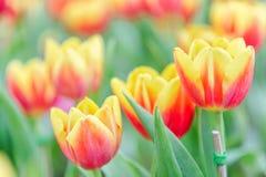La belle fleur de tulipe et le fond vert de feuille dans la tulipe font du jardinage à l'hiver ou à la journée de printemps Photos stock