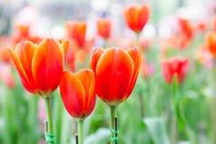 La belle fleur de tulipe et le fond vert de feuille dans la tulipe font du jardinage à l'hiver ou à la journée de printemps Photographie stock libre de droits