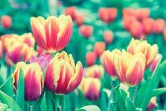 La belle fleur de tulipe et le fond vert de feuille dans la tulipe font du jardinage à l'hiver ou à la journée de printemps Images stock