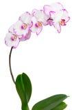La belle fleur a dissous la branche sur un fond blanc image stock