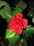 La belle fleur du Chinois s'est levée Photos stock