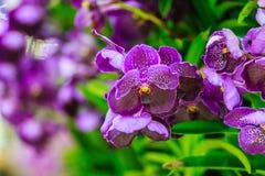 La belle fleur pourpre d'orchidée, hybride de Vanda fleurit Violet Van Images stock