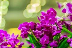 La belle fleur pourpre d'orchidée, hybride de Vanda fleurit Violet Van Photographie stock libre de droits