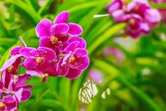 La belle fleur pourpre d'orchidée, hybride de Vanda fleurit Violet Van Photos libres de droits