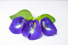 La belle fleur pourpre, se ferment vers le haut du papillon Pea Flower sur le fond blanc image libre de droits
