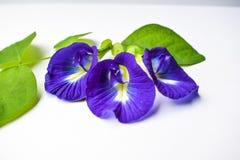 La belle fleur pourpre, se ferment vers le haut du papillon Pea Flower sur le fond blanc image stock
