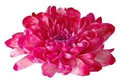 La belle fleur rose avec les pétales jaunes et le coeur jaune sur le blanc a isolé le fond Modèle pour le concepteur Photo stock