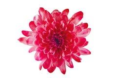 La belle fleur rouge avec les pétales jaunes et le coeur jaune sur le blanc a isolé le fond Modèle pour le concepteur Photos libres de droits