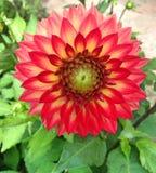 La belle fleur rouge de dahlia a appelé Karma Bon Bini Image stock
