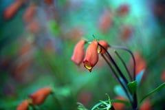 La belle fleur rouge de Seemannia sur le fond brouillé Photographie stock libre de droits