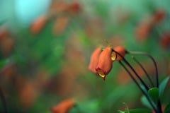 La belle fleur rouge de Seemannia sur le fond brouillé Images libres de droits