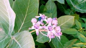 la belle fleur sauvage et les perles blanches de bourgeons fleurissent des insectes Image stock
