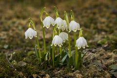 La belle floraison du flocon de neige blanc de ressort fleurit dans le printemps photos stock