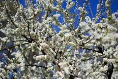 La belle floraison du prunier image stock