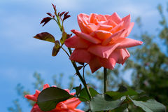 La belle floraison a monté contre le ciel bleu. Photographie stock libre de droits