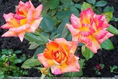 La belle floraison a monté contre le vert des feuilles Image libre de droits