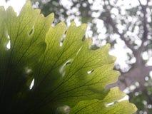 La belle fougère de grande taille de parasite laisse la croissance sur un vieil arbre Photos libres de droits