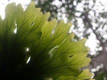 La belle fougère de grande taille de parasite laisse la croissance sur un vieil arbre Image stock