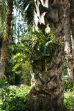 La belle fougère laisse l'élevage dans un tronc de palmier dans le jardin Photographie stock libre de droits