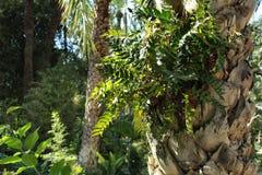 La belle fougère laisse l'élevage dans un tronc de palmier dans le jardin Photos stock