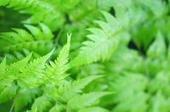La belle fougère verte part, fond frais naturel de fougère images libres de droits