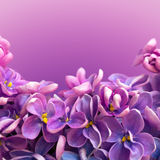 La belle frontière florale avec les fleurs lilas se ferment  Photographie stock