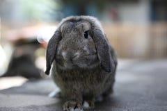 La belle Hollande brune adorable taillent le lapin de lapin Photographie stock libre de droits